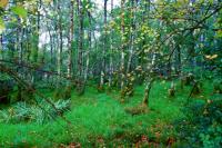 White birch woods near forest 森に続く白樺林 ⓒToshihiko Shibano