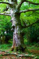 Old tree with knots こぶのある老木 ⓒToshihiko Shibano