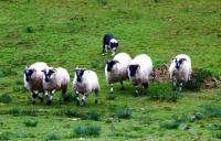 Shepherd's dog 羊飼いの命令に従順な牧羊犬  ⓒToshihiko Shibano