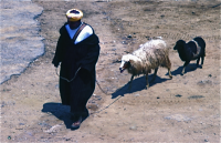 Sheep  salesman  羊売り 木曜市場(Khemis Anjra)これほど新鮮な肉の売り方を私は知らない。イランでもアフガニスタンでも、買った家の玄関先であっという間に裁くのを見たことがある。血の一滴もムダにしない見事なものだった。  ⓒToshihiko Shibano
