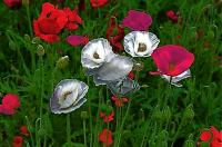 Any flowers bloom each wish どんな花もそれぞれの願いがあって咲く ⓒToshihiko Shibano