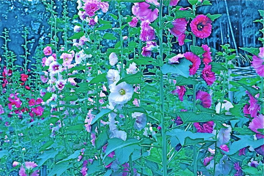 花盛りの夏 Summer in  blooming   ⓒToshihiko Shibano