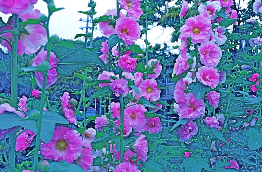 赤い花の 向こうへ To the other side from red flower.  ⓒToshihiko Shibano