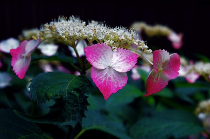 薄紅をつけて Make up her face in pink.  ⓒToshihiko Shibano