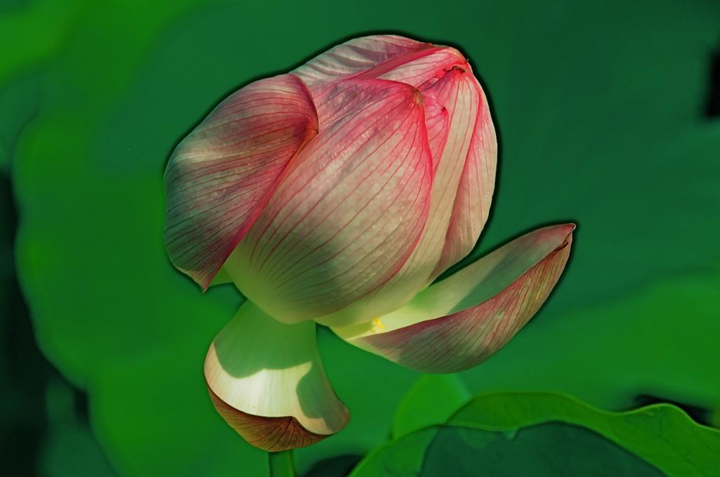 ポンと音立てて咲く? Sound is made with Pons and it blooms?.  ⓒToshihiko Shibano