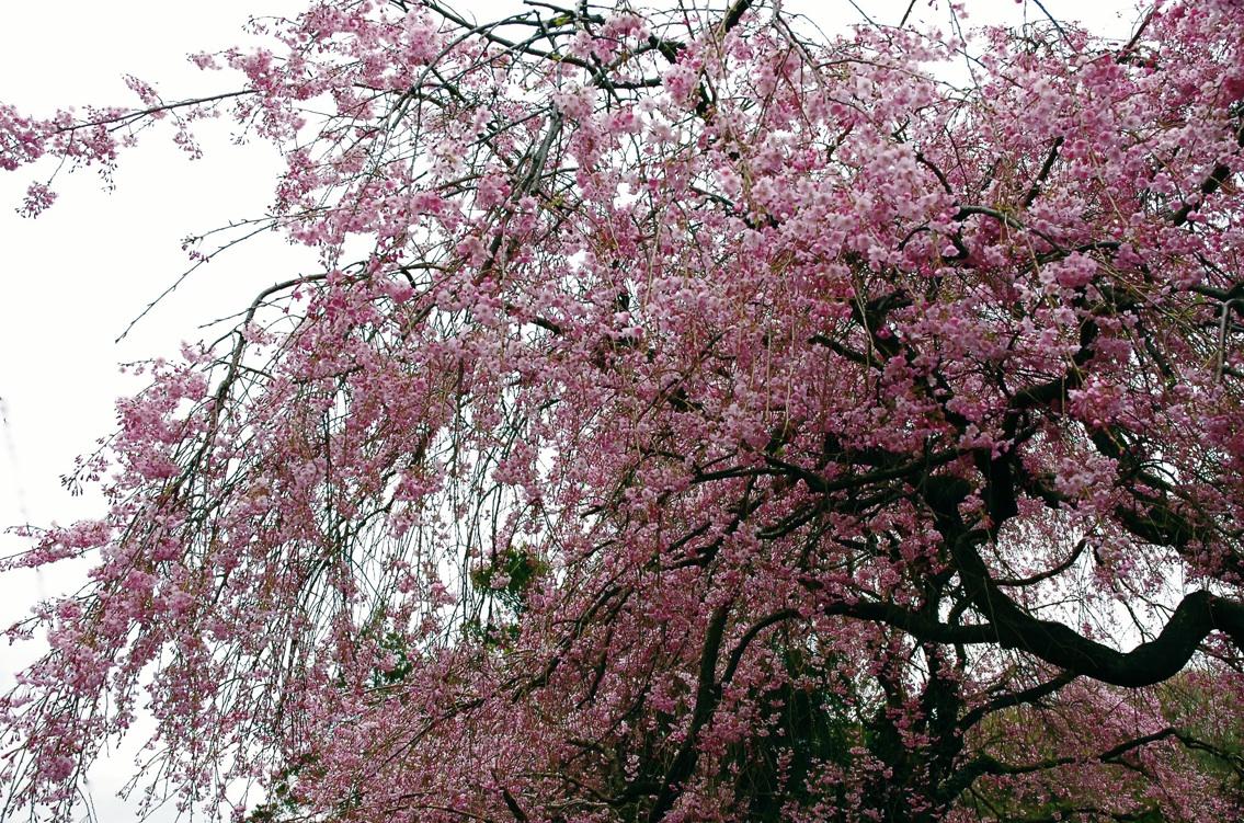 また春は巡る1 Spring has come again 1 ⓒToshihiko Shibano