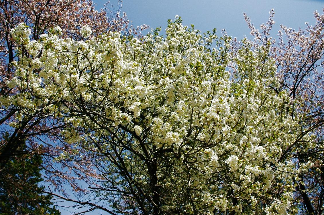 また春は巡る2 Spring has come again 2 ⓒToshihiko Shibano