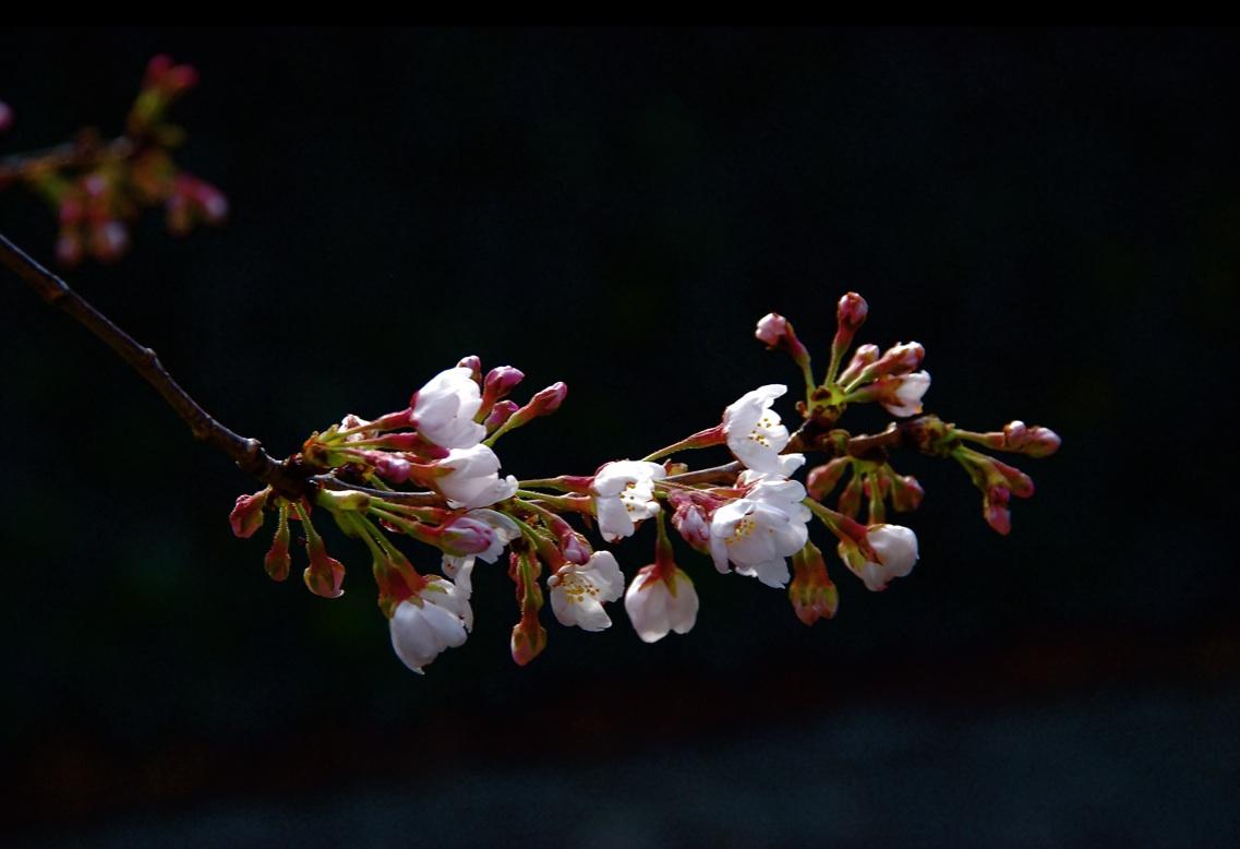 花の命は短くて The life of a flower is short ⓒToshihiko Shibano