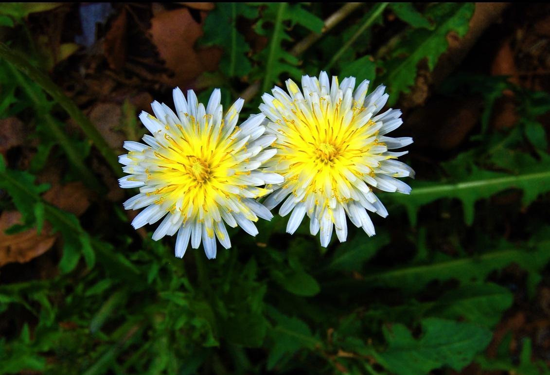 珍しい 白いタンポポ Rare white dandelion  ⓒToshihiko Shibano