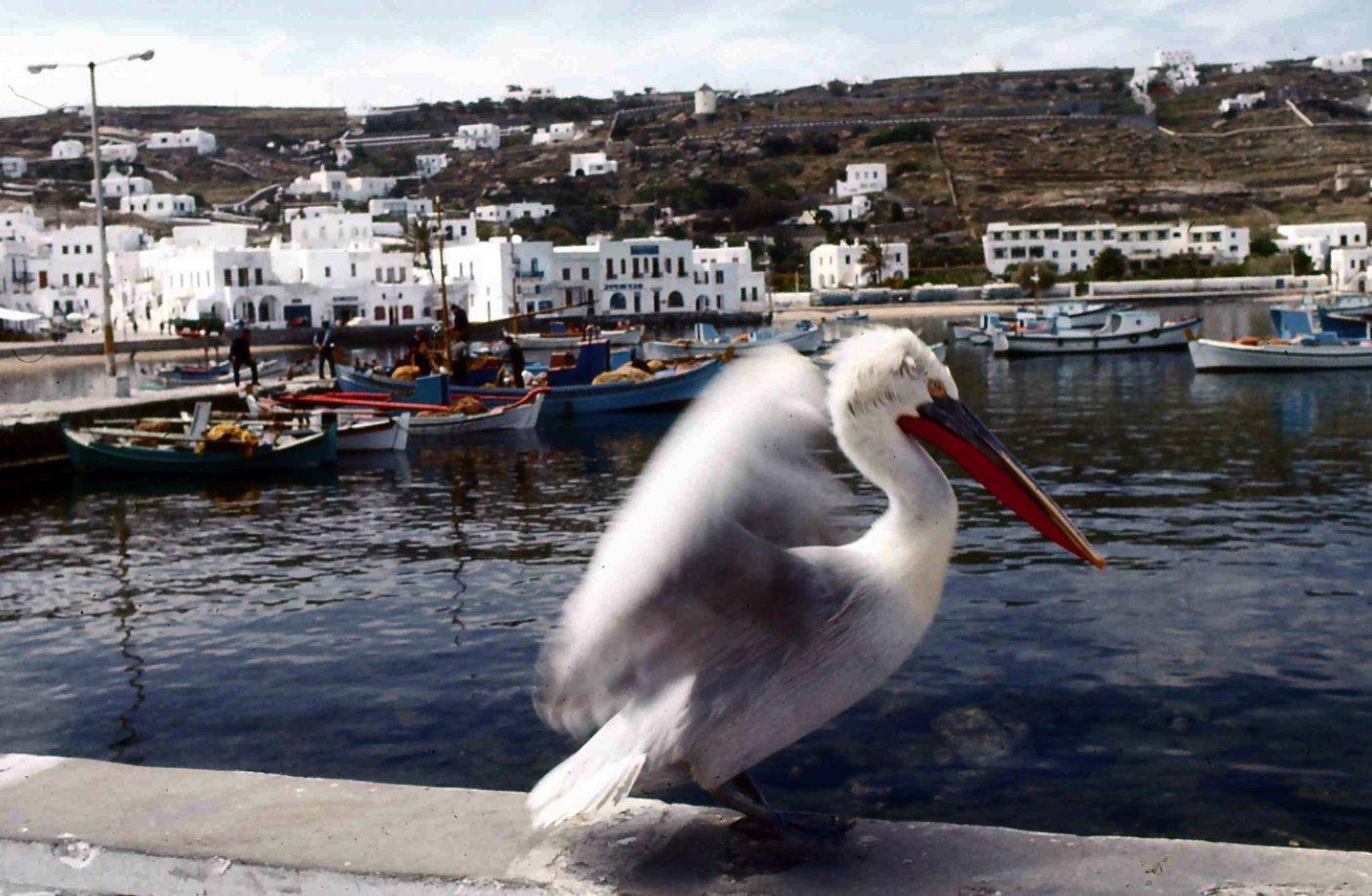 港のマスコット・ペリカン Mascot pelican of the port 現在は5羽いるらしい  ⓒToshihiko Shibano